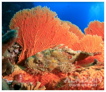 The Mergui Archieplago in Burma (Myanmar) offers great sceneries underwwater, like this bright view of a stonefish hidden in a fan coral